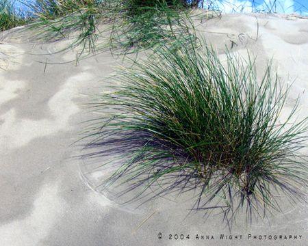 Beachgrass
