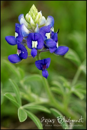 AnnaWight_TexasBluebonnet1