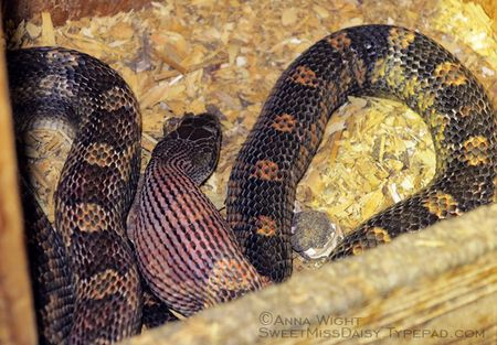 Dealing with Black Snakes Around Your Home or Garden
