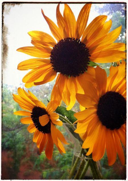 AnnaWightSunflowerWindow