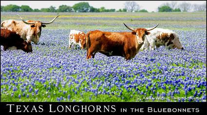 Longhornsinbluebonnets_2