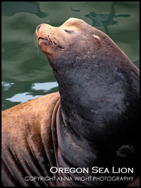 Annawight_sealion3767_3